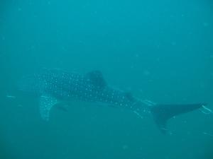 Bangininis ryklys